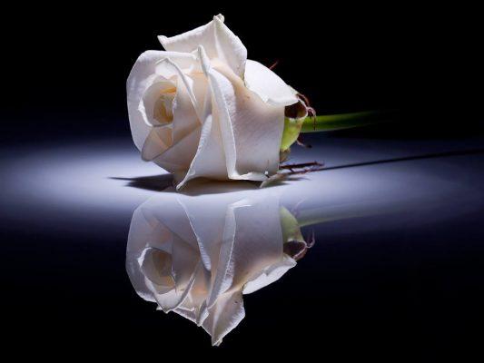 Fehér rózsa